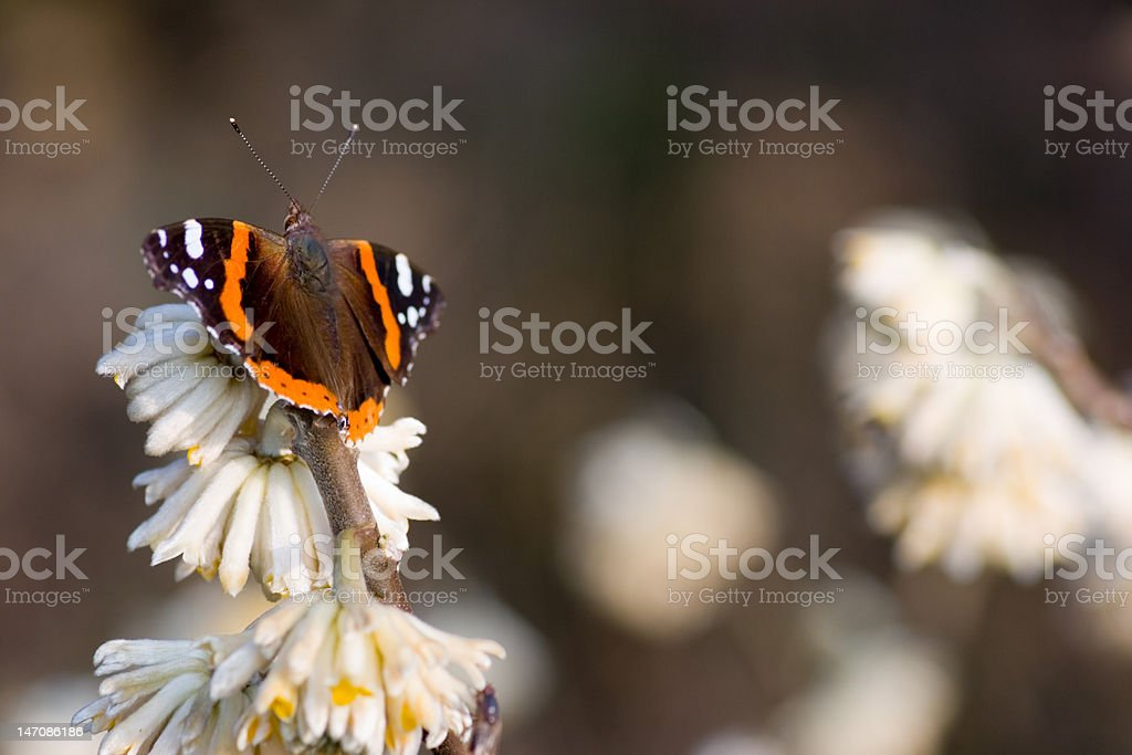Red admiral royalty-free stock photo