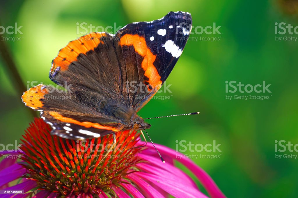 Red admiral stock photo