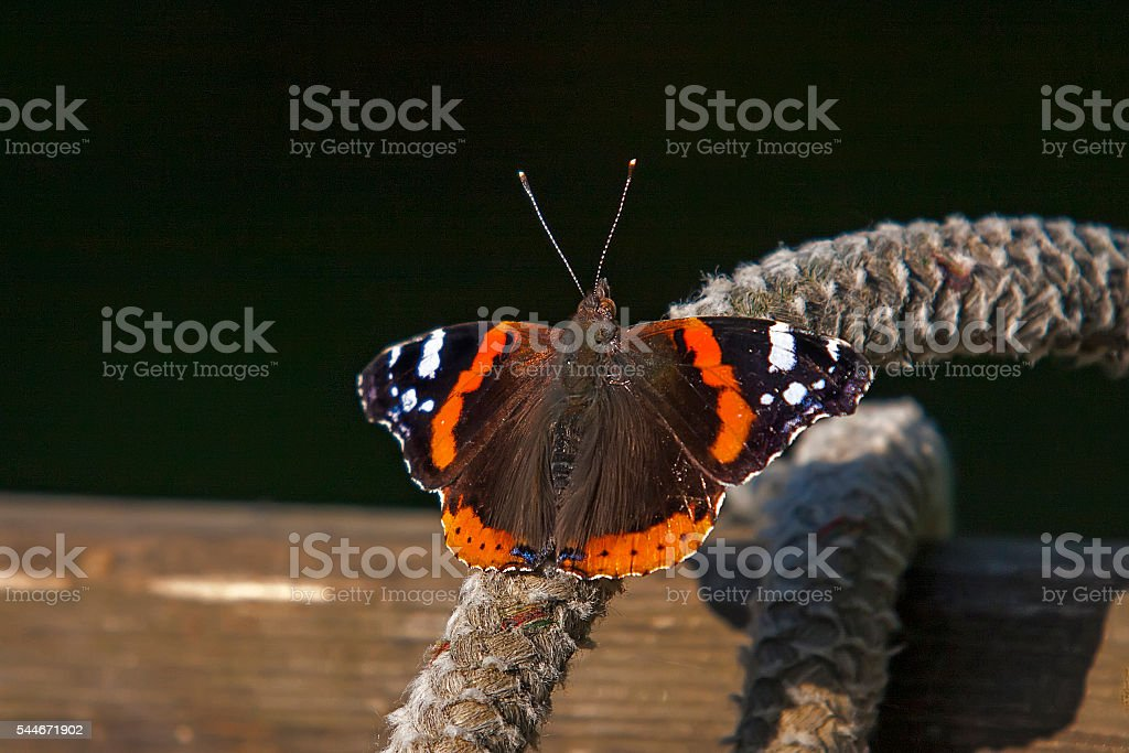 Red Admiral (Vanessa atalanta) stock photo