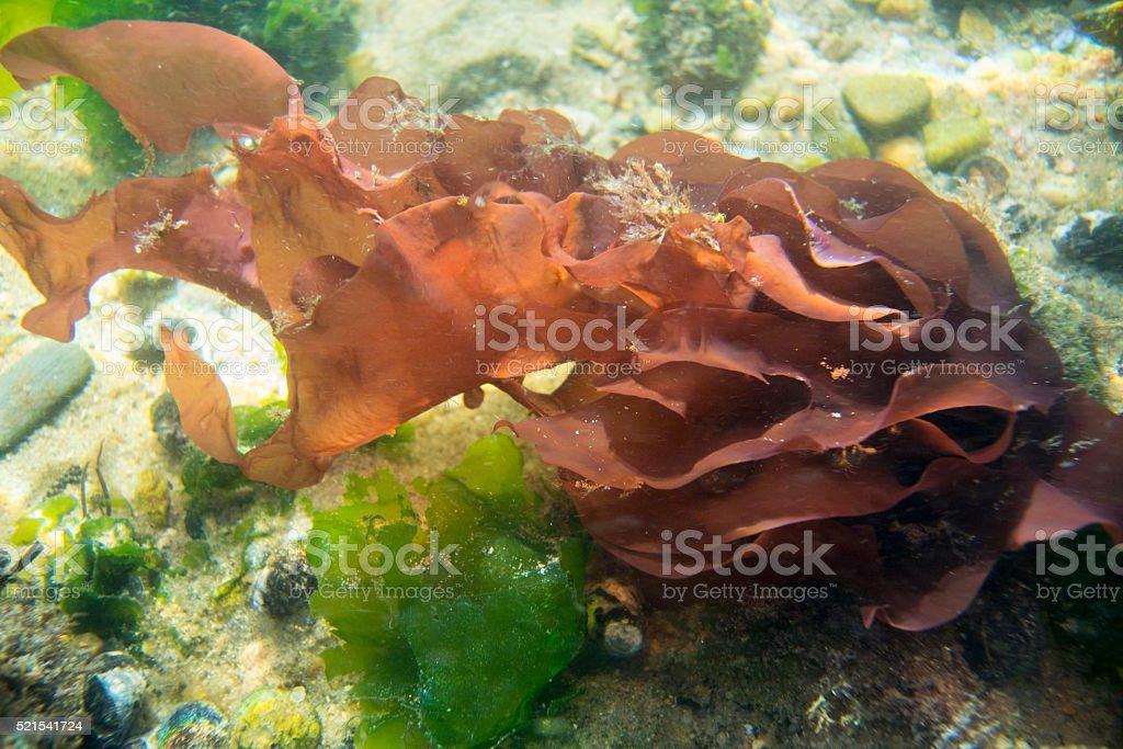 Red Algae Underwater in Cape Cod River stock photo