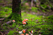 red Amanita muscaria autumn forest