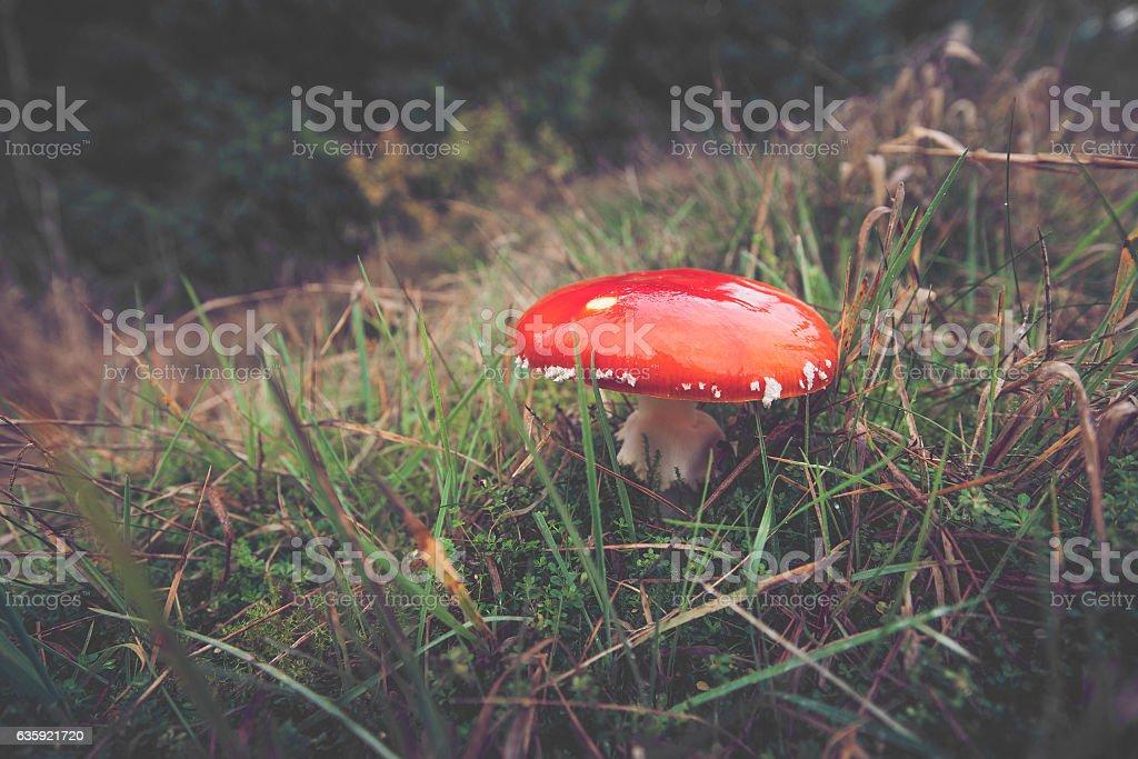 Red Amanita Muscaria mushroom in Scandinavian nature stock photo
