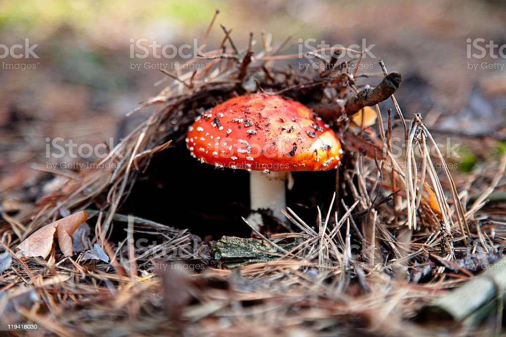 Red amanita mushroom royalty-free stock photo