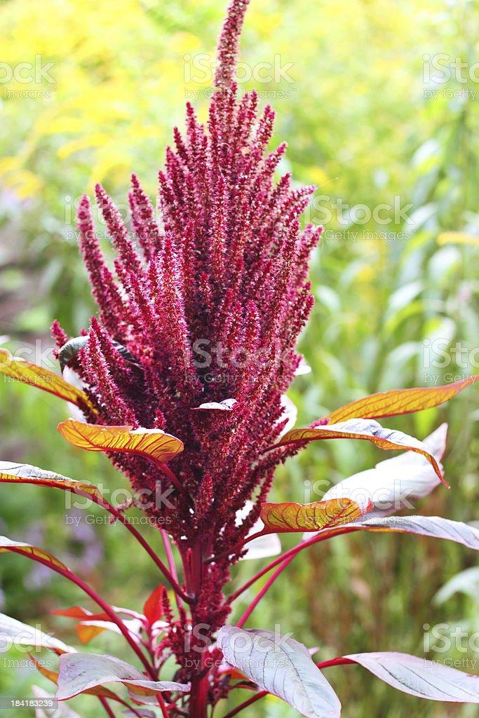 Red amaranth (Amaranthus cruentus) stock photo