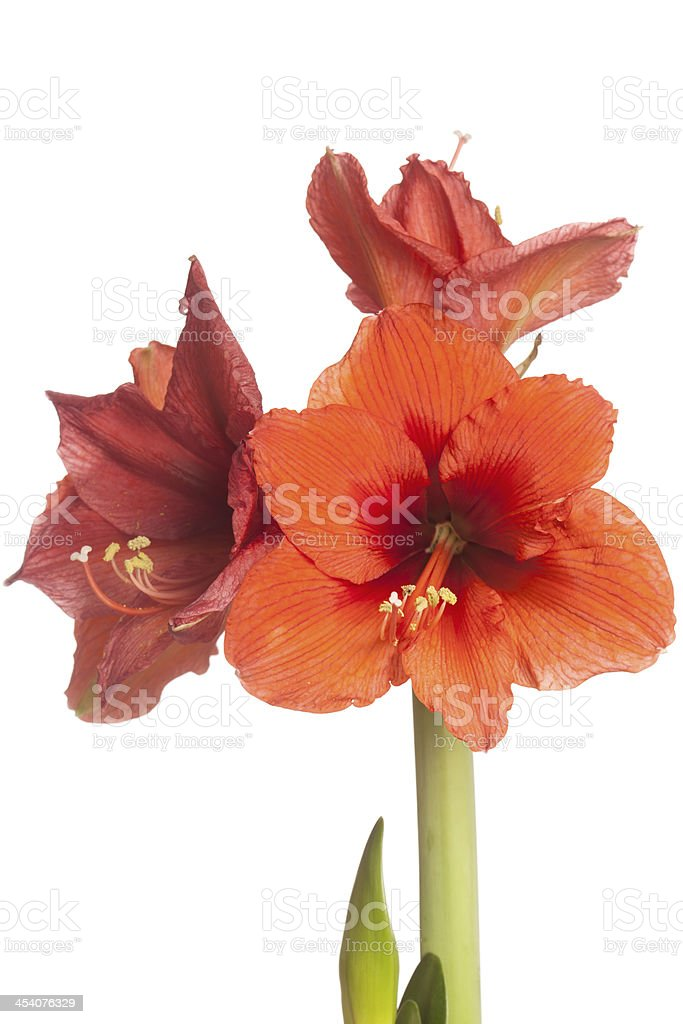 Red Amaryllis flower, multiple blossoms, isolated on white royalty-free stock photo