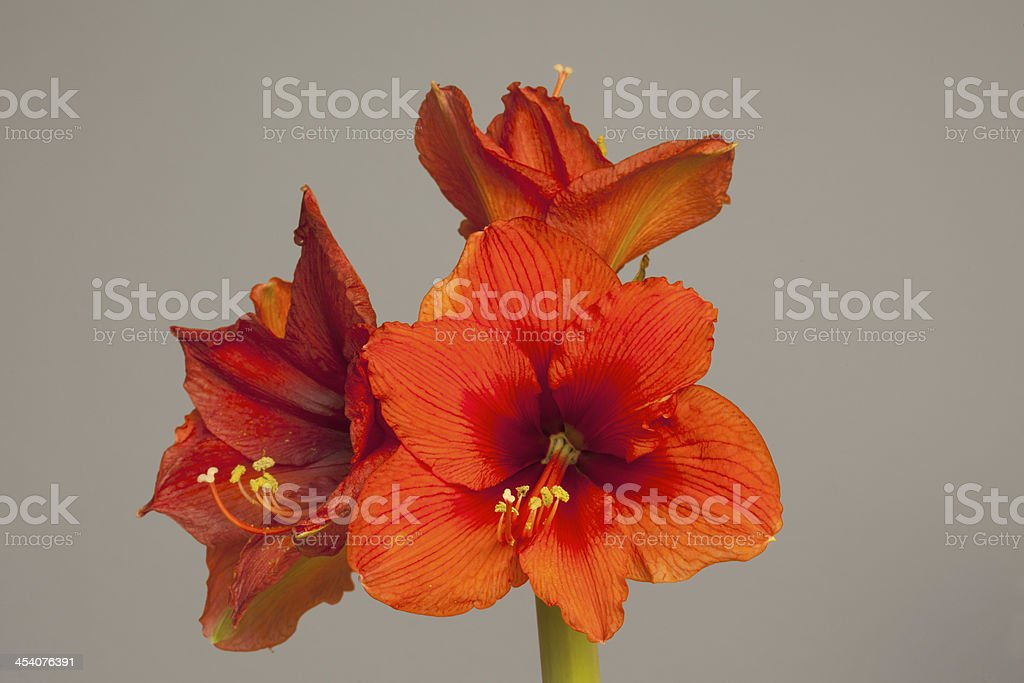 Red Amaryllis flower, multiple blossoms royalty-free stock photo
