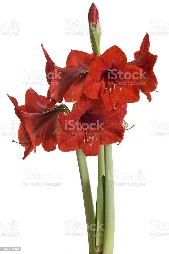 Red amaryllis on white background (Hippeastrum) stock photo
