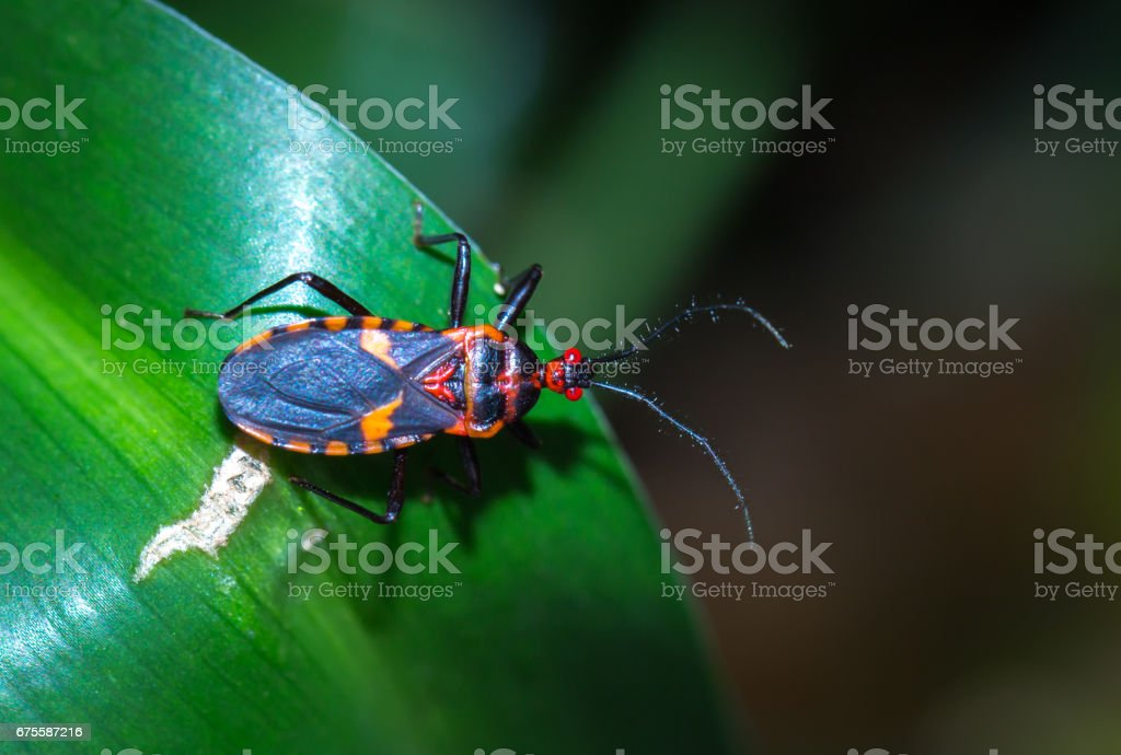 Red and black Assassin bug on a leaf, Pietermaritzburg, South Arica stock photo