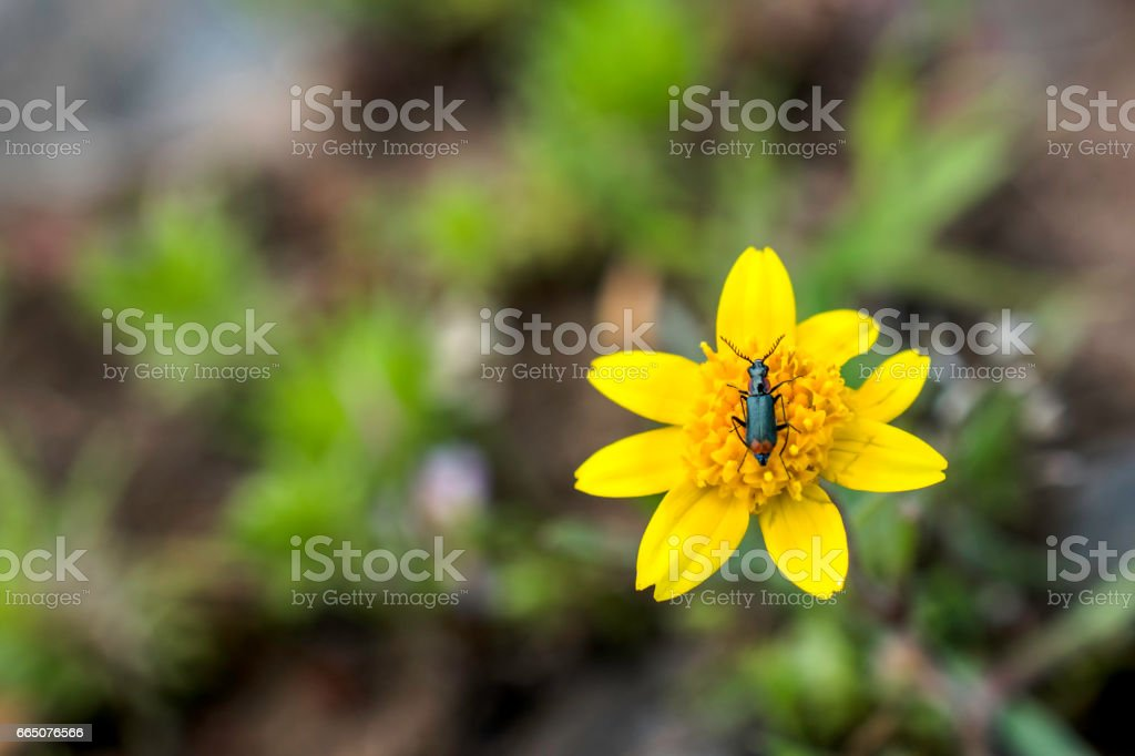 Red and Black Beetle gets Nectar from a Golden Marguerite Yellow Flower stock photo