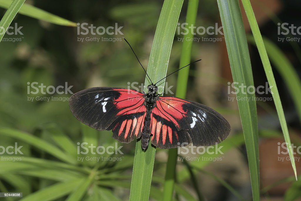 Red and Black Butterfly stock photo