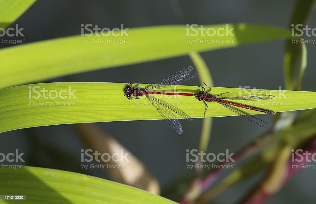 Red and black dragonfly -tandem pair with male royalty-free stock photo