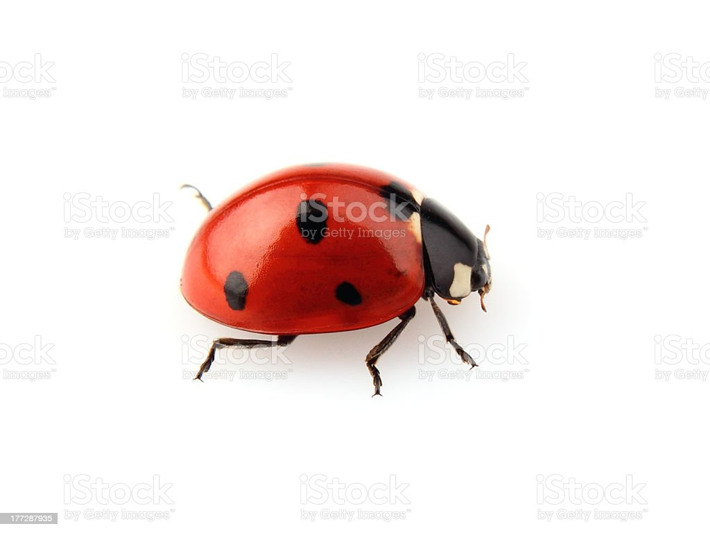 Red and black ladybug isolated on white background stock photo