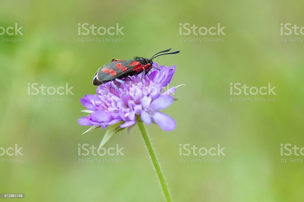 red and black patterned burnet resting on a flower stock photo
