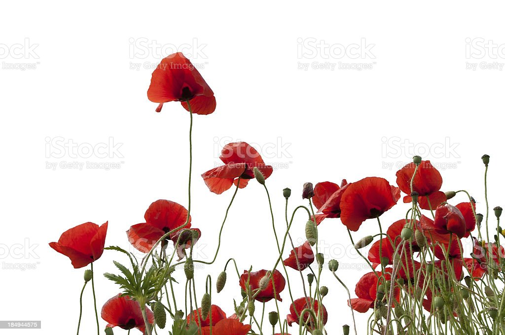 Red and black poppys isolated on a white background stock photo