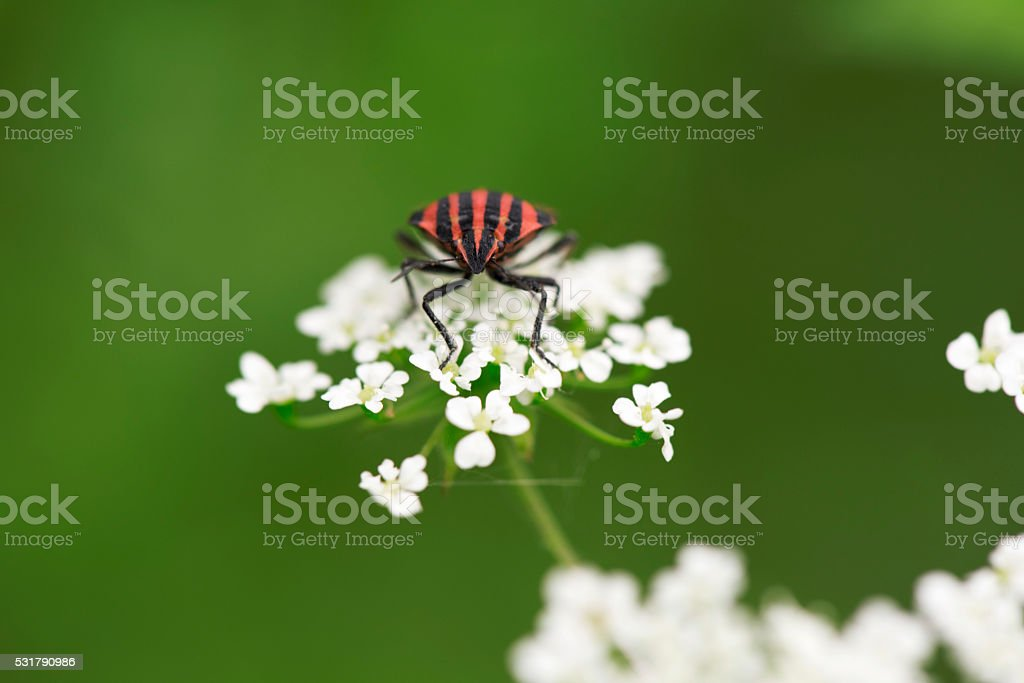 Red and black shield bug on white flower stock photo
