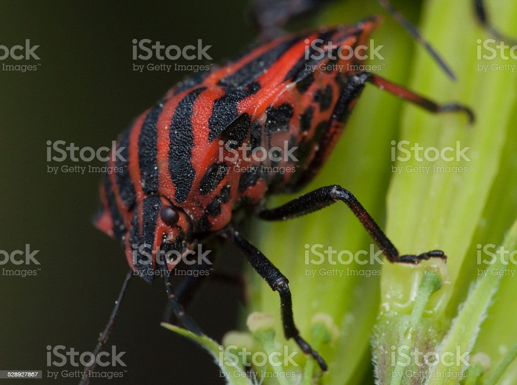 Red and black striped minstrel bug stock photo