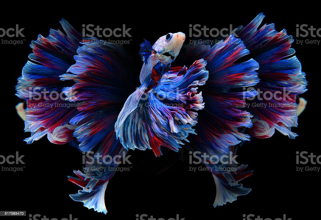 Red and blue siamese fighting fish, betta fish isolated stock photo