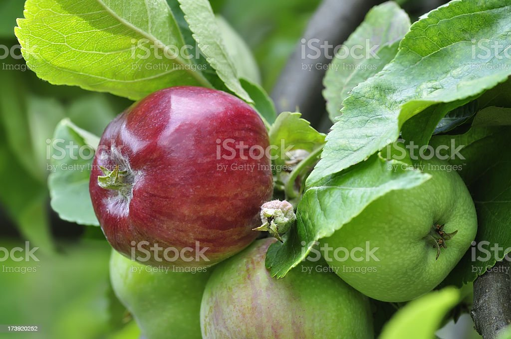 Red and green apples on tree royalty-free stock photo