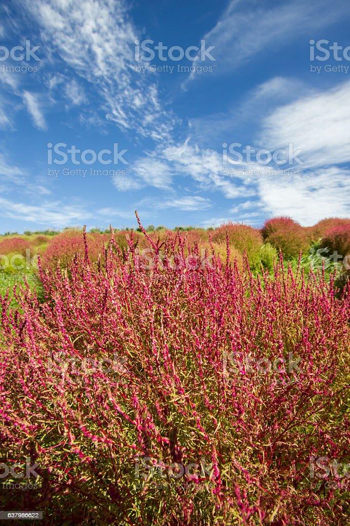 Red and green Kochia with beautiful sky in Ibaraki,Japan stock photo