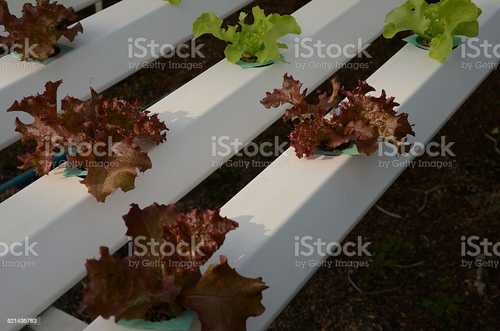 Red and Green Lattuce stock photo