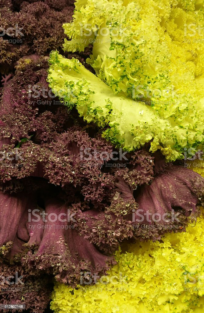 Red and Green Leaf Lettuce stock photo