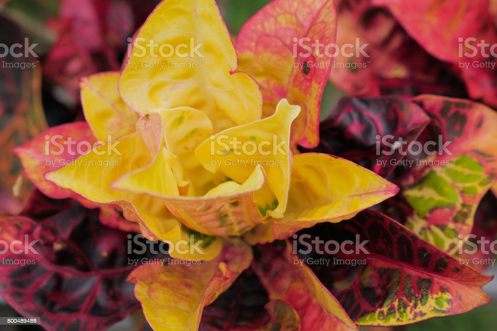 red and green leaf of Rushfoil or Croton tree stock photo