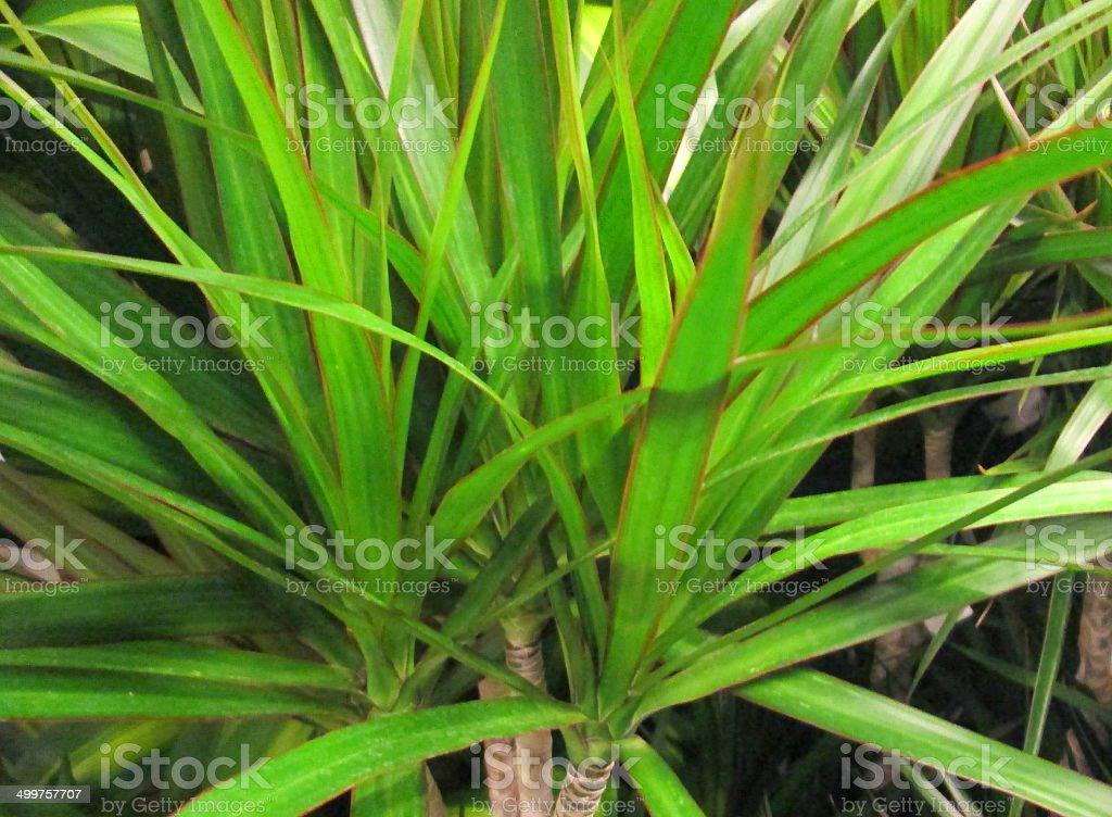 Red and green leaves of Dragon tree, Dracaena marginata houseplant stock photo