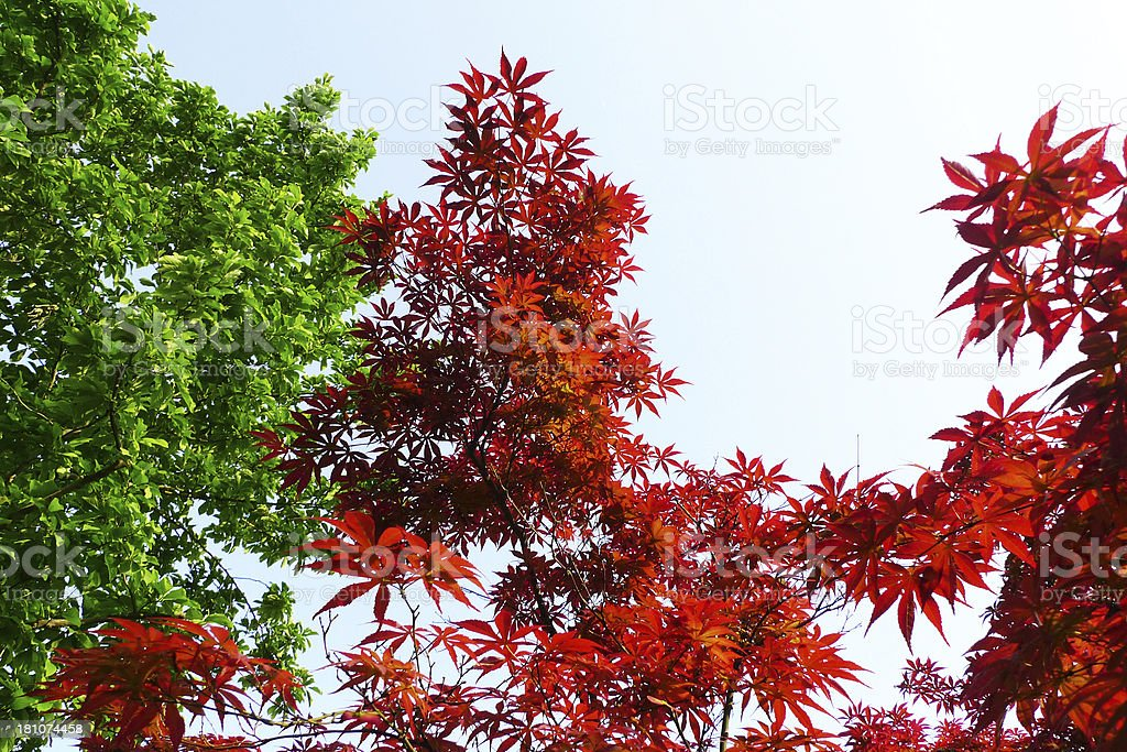 Red and Green Leaves royalty-free stock photo