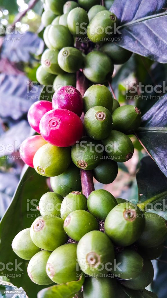 Red and green of coffee beans on tree branch stock photo