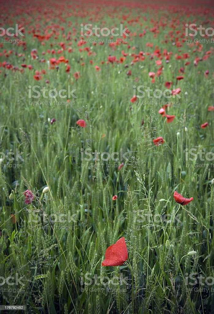 Red and Green Poppy Field In Spring Time royalty-free stock photo
