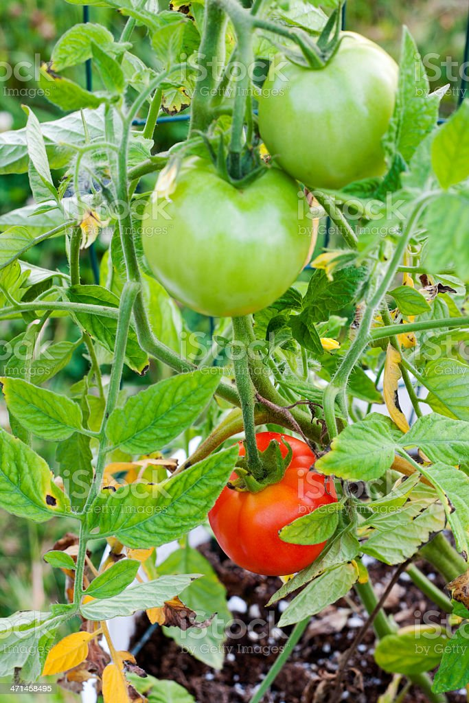 Red and Green Tomatoes in a Bucket Garden stock photo