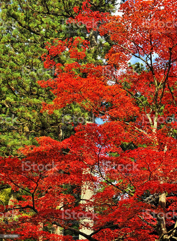 Red and green trees royalty-free stock photo
