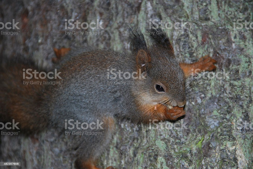 Red and Grey squirrel eating on a tree stock photo