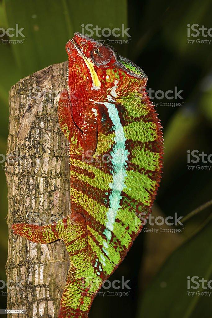 Red and orange chameleon stock photo