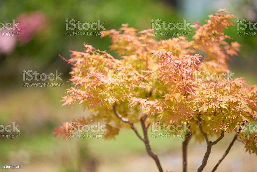 Red and Orange Japanese Maple Tree stock photo