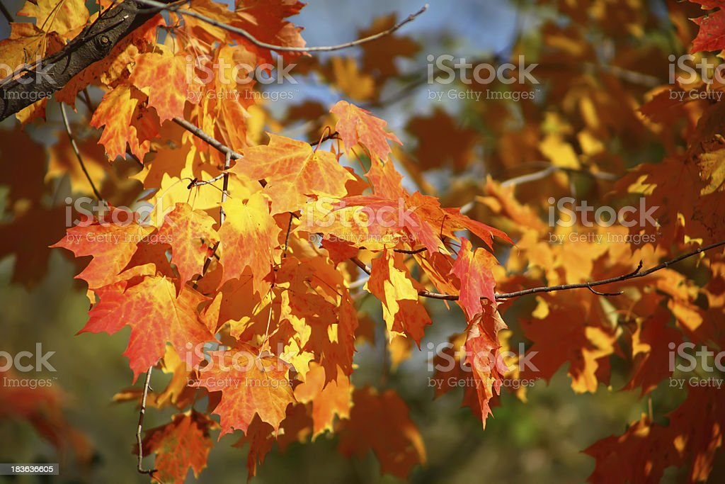 Red and orange maple leaves on a tree branch royalty-free stock photo
