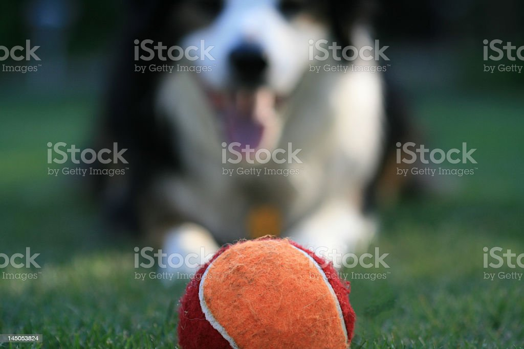 Red and orange tennis ball with a dog waiting stock photo