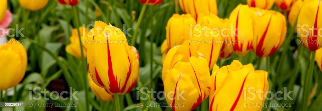 Red and orange tulips background stock photo