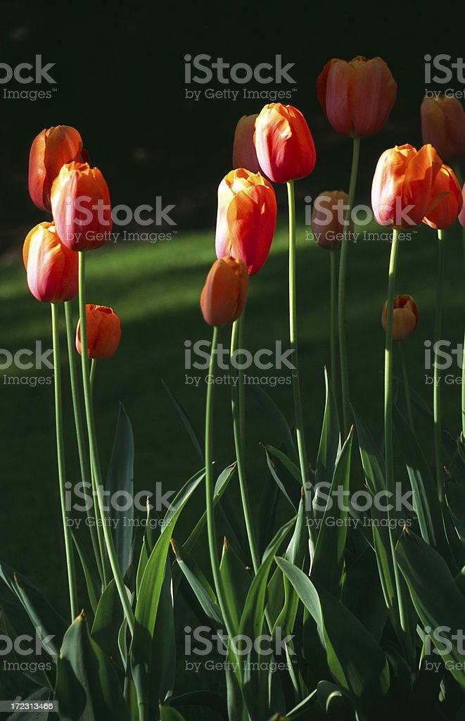 Red and orange tulips, with black background stock photo