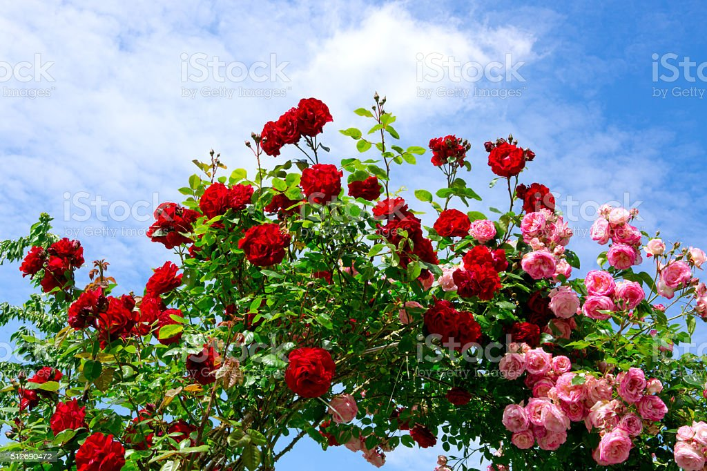 Red and pink climbing roses. stock photo