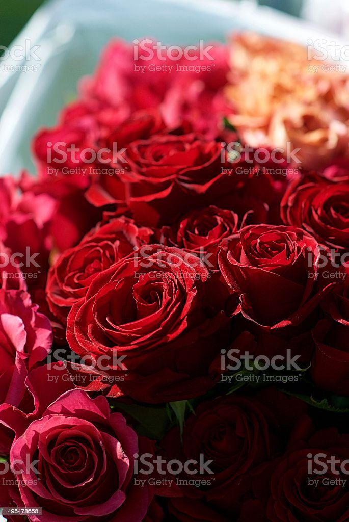 Red and Pink Roses stock photo