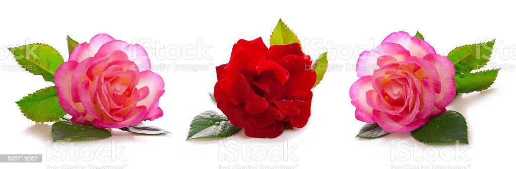 Red and pink roses . stock photo