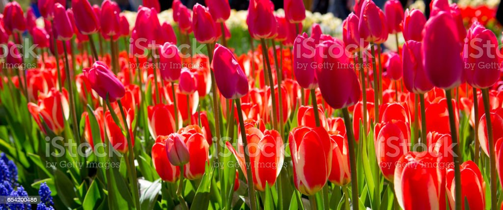 Red and pink tulips background stock photo