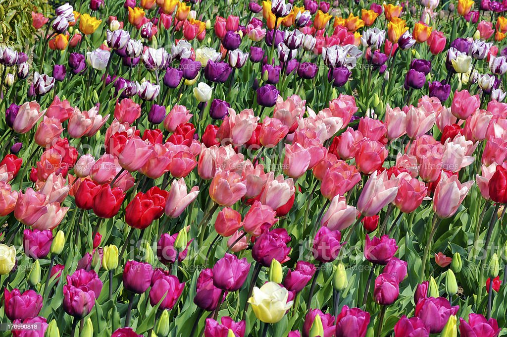 Red and pink tulips royalty-free stock photo