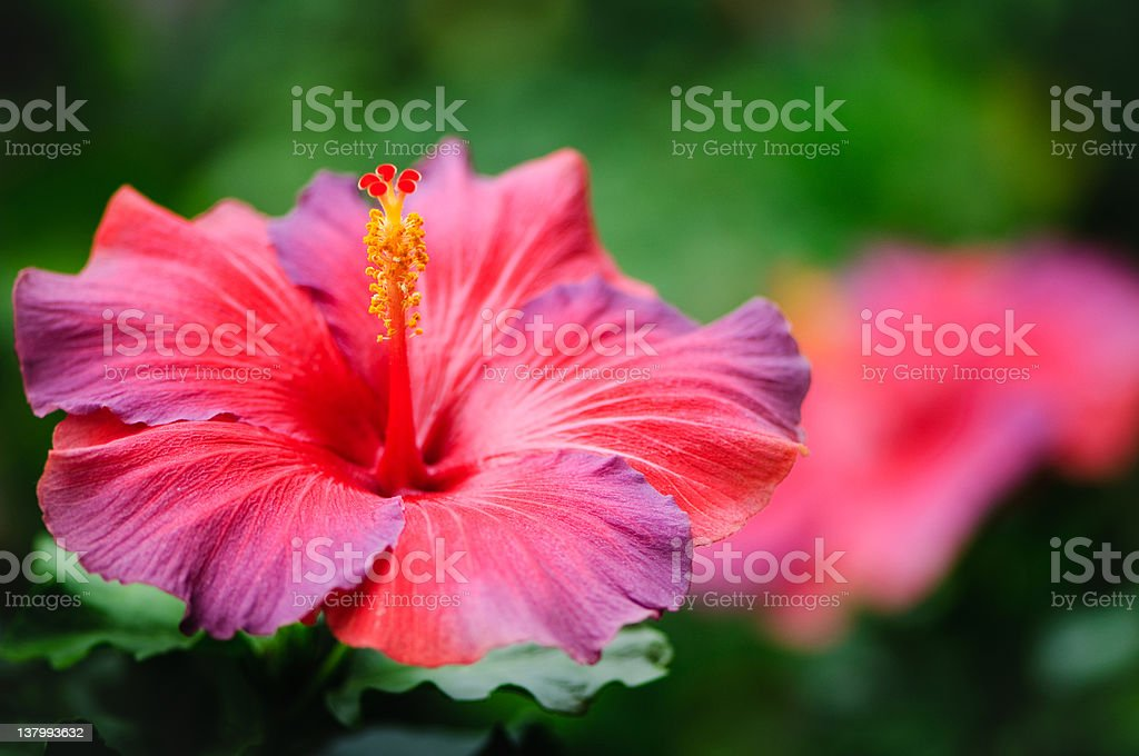 Red and purple hibiscus stock photo
