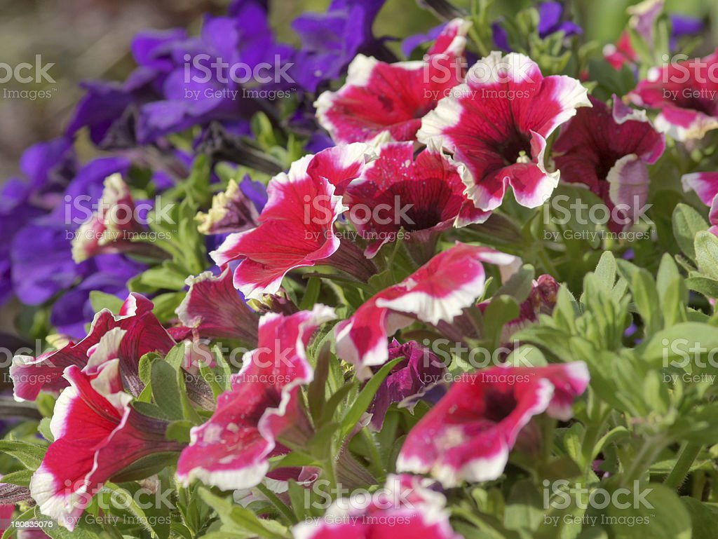 Red and purple petunias royalty-free stock photo
