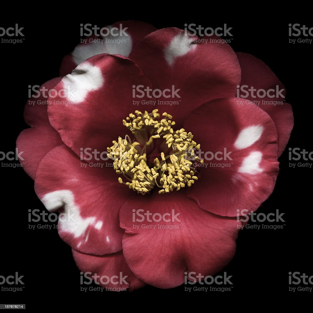 Red and White Camelia Flower stock photo
