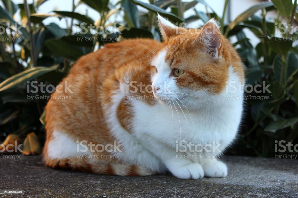 Red and white cat sitting in the evening light stock photo