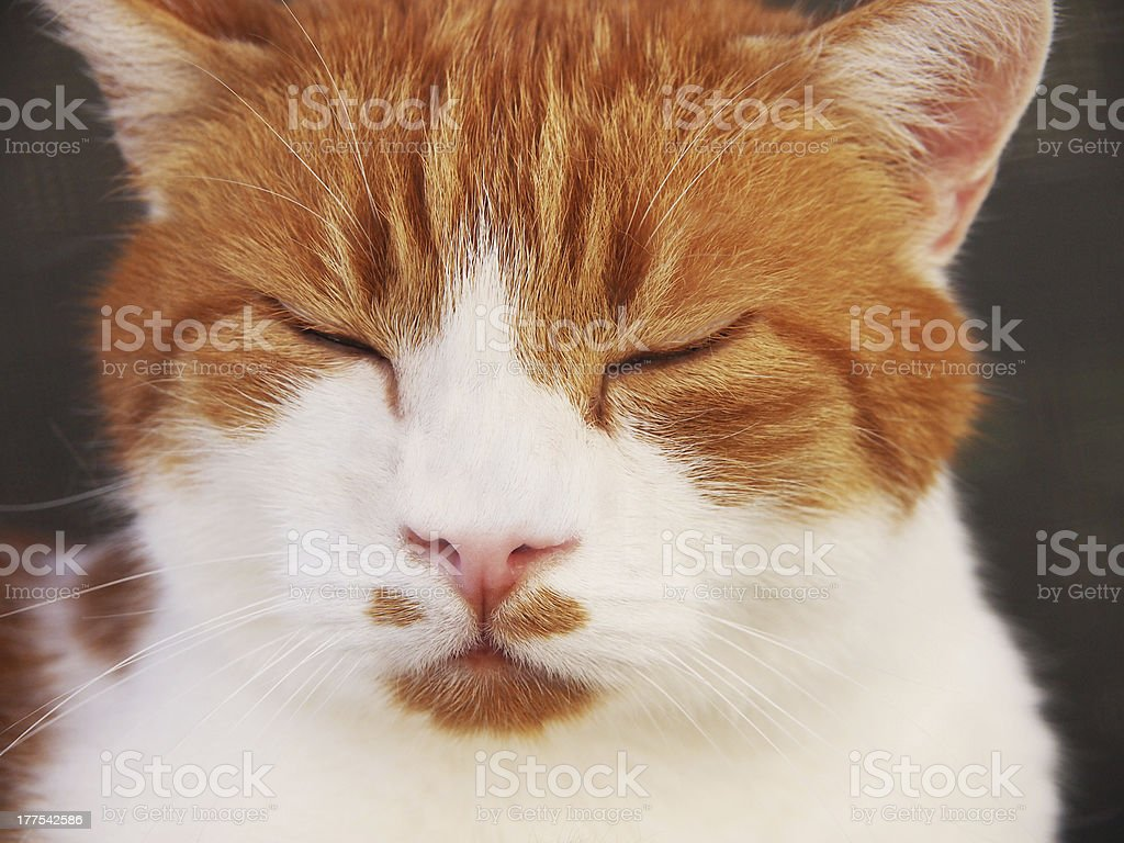 red and white cat, sleeping, close-up stock photo
