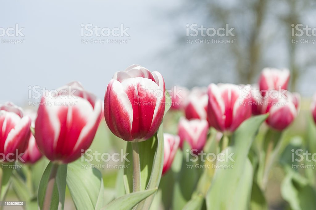 red and white colored tulip stock photo
